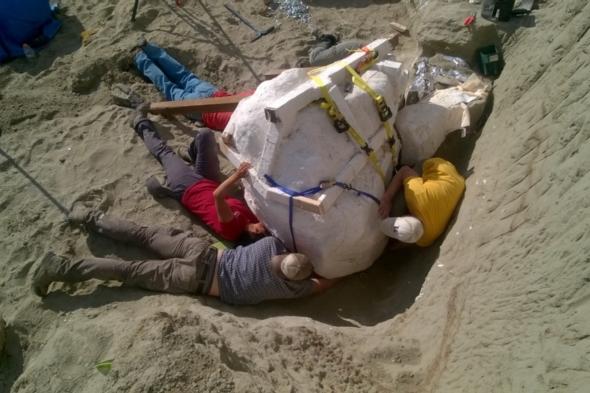 Descoperire impresionanta in Montana. Arheologii au gasit fosila unui dinozaur T-Rex, care a trait acum 66 de milioane de ani