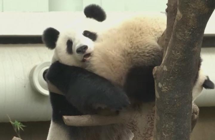Petrecere la ZOO. Doi ursi panda au primit un tort de ziua lor, iar vizitatorii au participat la eveniment
