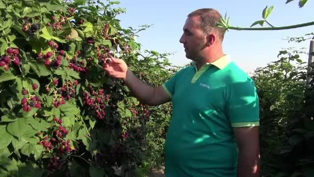 Clienții unei plantații de mure din Bacău își culeg singuri fructele: