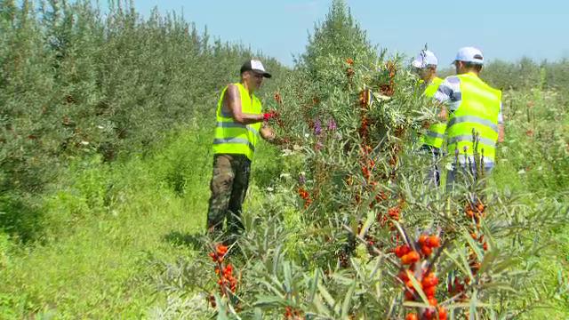 Fermierii români au început să angajeze deținuți în loc de zilieri