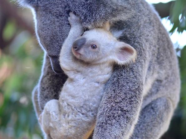 Un pui de koala, alb, s-a născut la o grădină zoologică din Australia