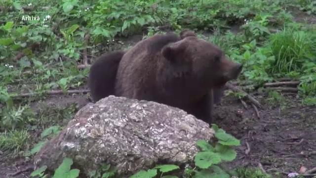 Un cioban de 48 de ani din Comarnic a fost atacat şi muşcat de un urs la stana unde lucra