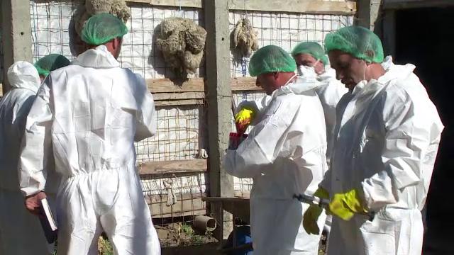 Virusul Pestei Porcine Africane confirmat în judeţul Ilfov. Măsurile luate de ANSVSA