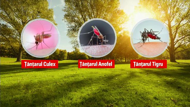 Europa, în pragul unei epidemii. În România avem 3 specii de ţânţari periculoşi