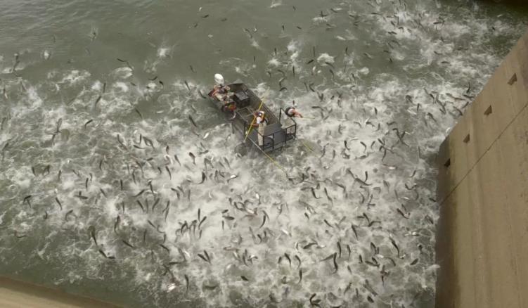 Momentul în care peștii dintr-un lac sunt electrocutați. De ce este periculos crapul asiatic