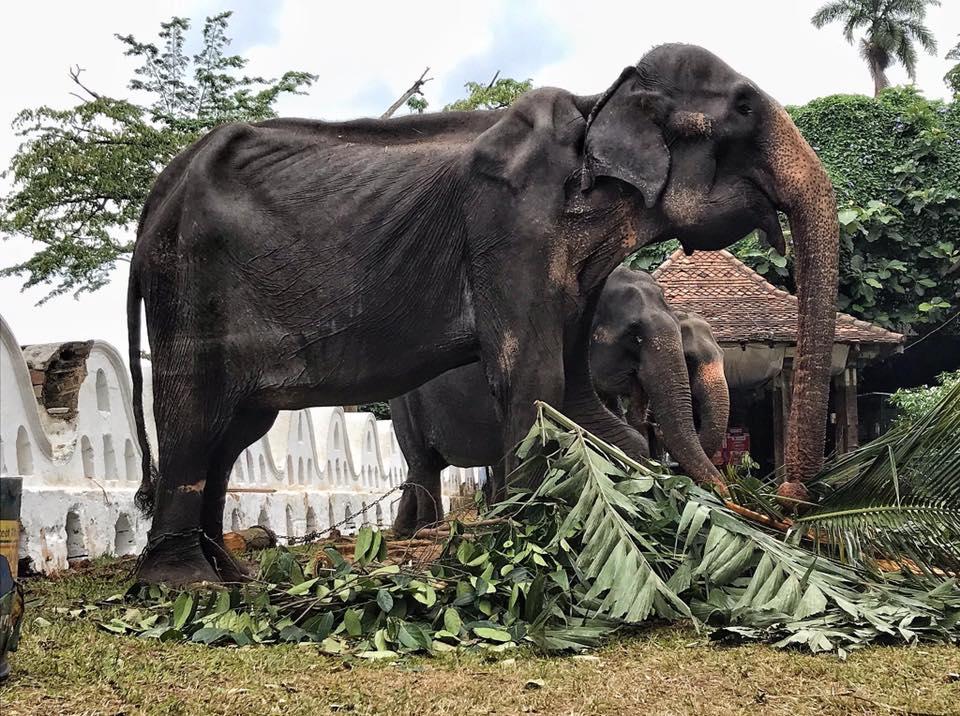 Imagini șocante cu un elefant de 70 de ani, subnutrit, forțat să participe la spectacole