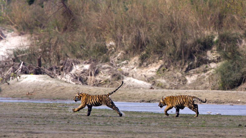 Masacrul făcut de tigri într-un sat de lângă rezervaţia lor. Cum vor fi