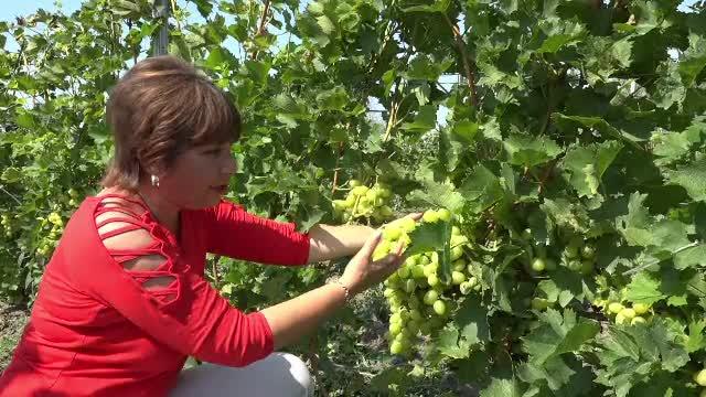 """Consumul de struguri, în creștere în România. Preferații sunt cei """"nobili"""""""