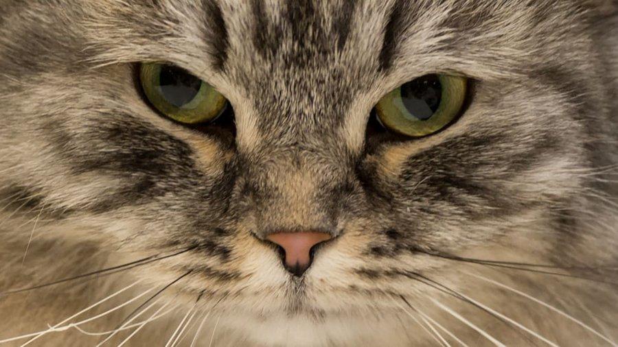 O pisică din Sri Lanka care făcea contrabandă cu droguri a scăpat dintr-o închisoare de maximă securitate