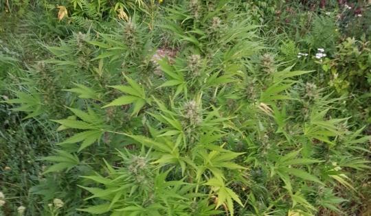 Peste 90 de kg de canabis găsite în Mureș. 14 persoane, cercetate pentru trafic de droguri