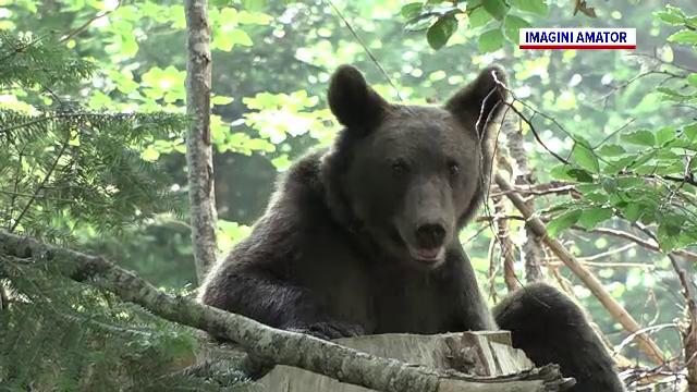 Persoane încă neidentificate atrag urșii cu mâncare în cartierele din Brașov. Ce amendă riscă