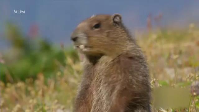 Marmotele, caprele negre și căpriorul, pe lista speciilor care distrug culturile. În ce condiții ar putea fi ucise