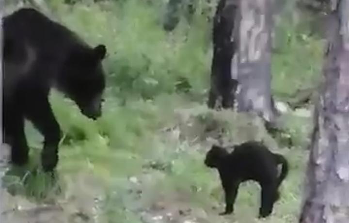 Imagini uimitoare, confruntare între o pisică și un urs. Finalul este neașteptat. VIDEO