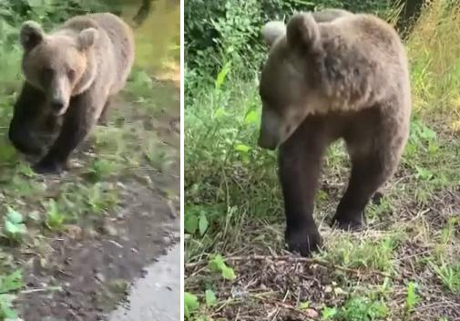 VIDEO VIRAL: Ce a pățit un șofer care filma un urs nervos, din mașină