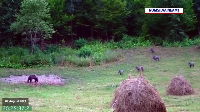 Cum se duce lupta pentru supraviețuire în pădure. Doi urși și o turmă de mistreți împart mâncarea