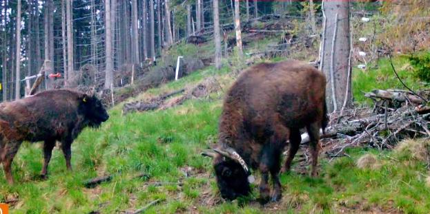 Peste 20 de zimbri vor fi eliberați în Munții Făgăraș