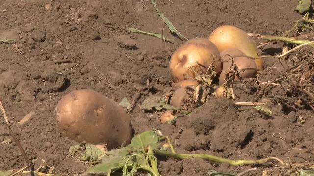 A crescut producția de cartofi, după ce ani la rând suprafețele cultivate s-au împuținat