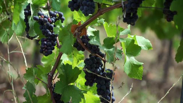 2021 este un an bun pentru vinul din România. Calitatea strugurilor este una superioară
