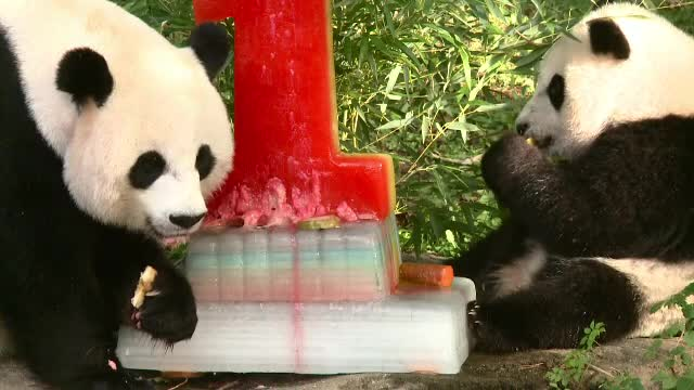 VIDEO. Prima aniversare a unui pui de urs panda, sărbătorită cu un tort special, de gheață