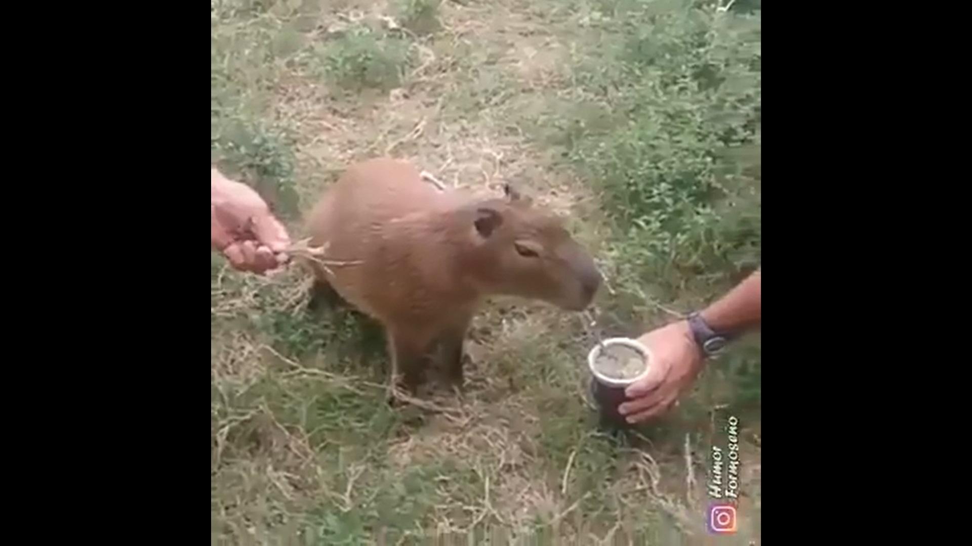 VIDEO. Animalele care au invadat Buenos Aires. Au provocat accidente și au devastat grădini