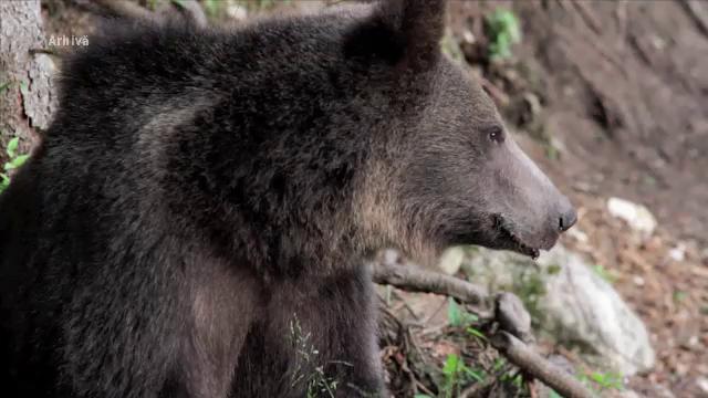 Doi urși agresivi, care au atacat mai multe gospodării, au fost împușcați. Reacția ministrului Mediului