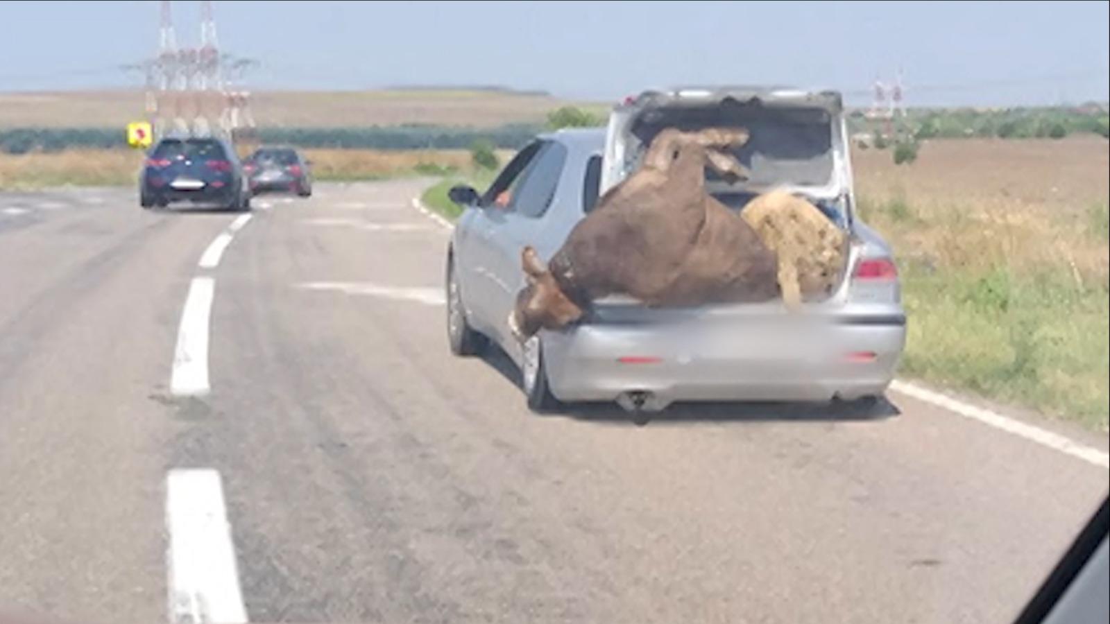 Șofer surprins pe o șosea din Prahova cu o vacă și o oaie în portbagaj