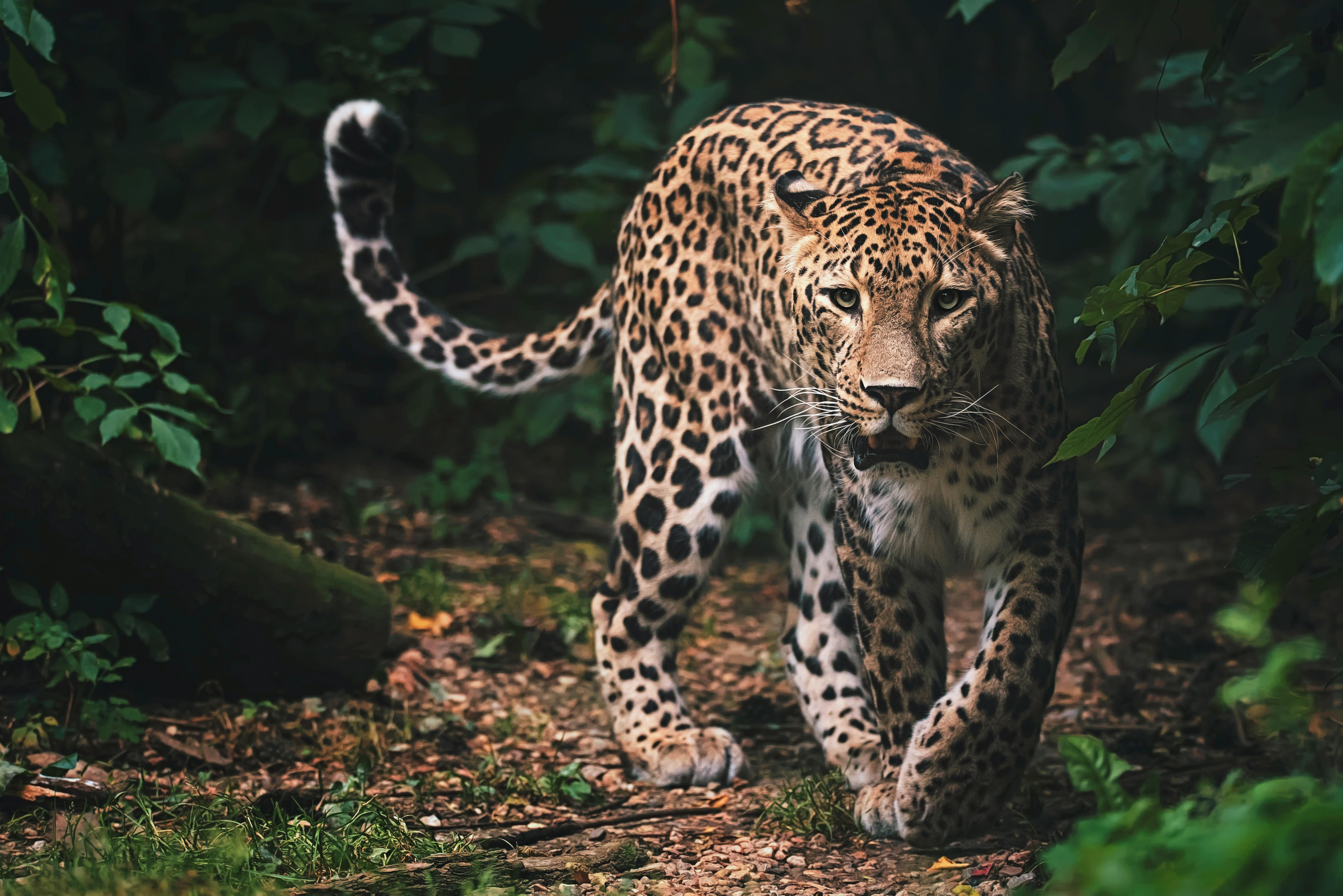 Un model a fost atacat şi mutilat de un leopard în timpul unei şedinţe foto