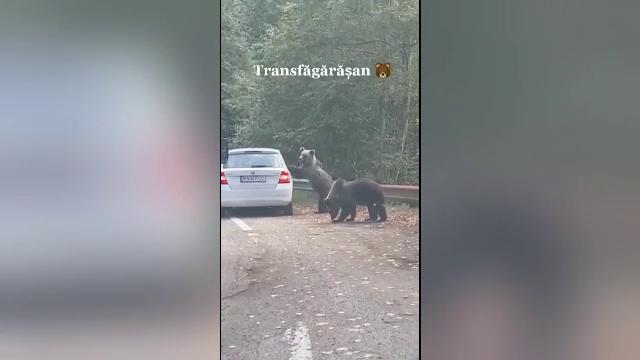 Scene incredibile pe Transfăgărășan. O femeie a scos capul pe geamul mașinii lângă doi urși, fiind atacată