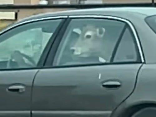 VIDEO. Un șofer a mers la fast-food cu o vacă pe bancheta din spate a mașinii. Imaginile au devenit virale