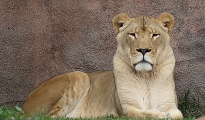Kara, o leoaica de 2 ani crescuta de un roman, va ajunge acasa, in Africa