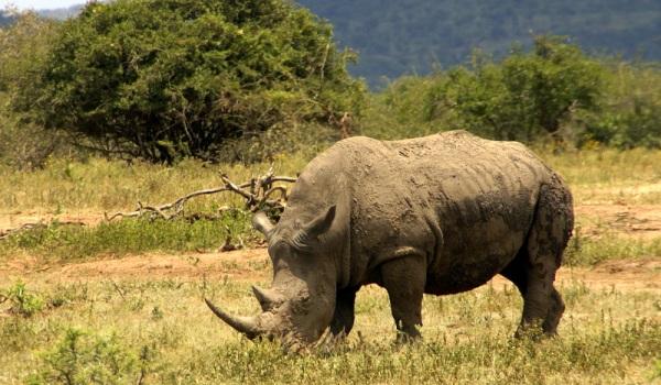 Un rinocer ucis la fiecare 21 de ore, in savana sud africana. Care este motivul masacrului