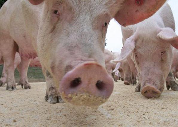Sfarsit tragic! Doi barbati au murit inecati in fecale de porc
