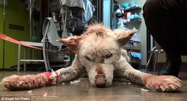 Un husky a fost salvat in ultimul moment dintr-o groapa de gunoi