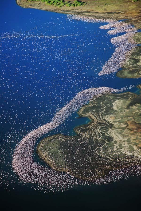 Lacul din Kenya invadat de o colonie intreaga de pasari Flamingo roz