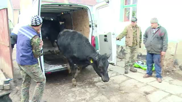 Donatii pentru familiile nevoiase. Vacile irlandeze au ajuns, in sfarsit, in casele noilor stapani din Romania