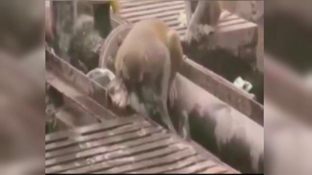 Scena unica surprinsa intr-o gara din India. O maimuta isi salveaza de la moarte o surata electrocutata