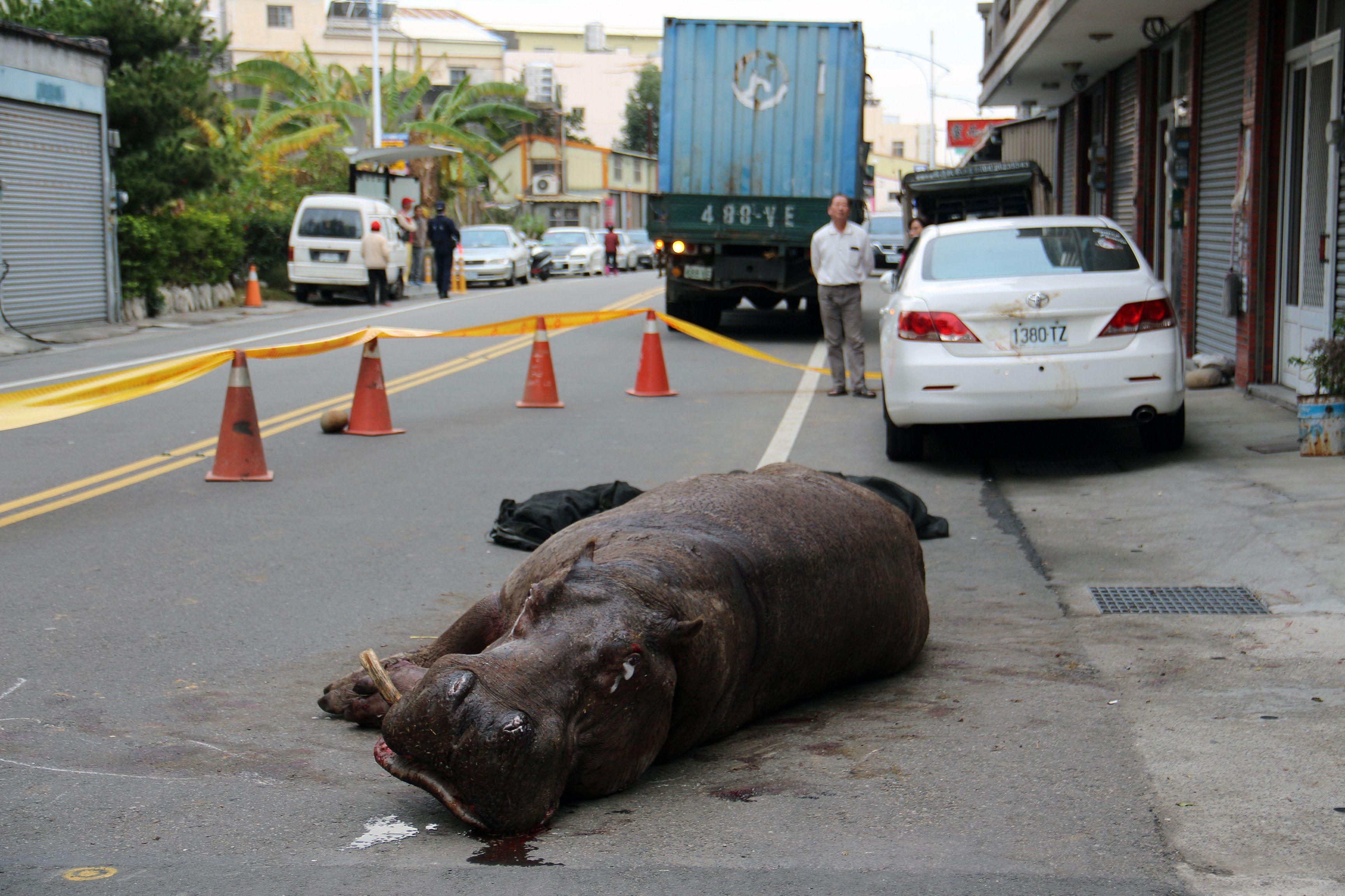 Povestea trista a lui Ah-he. Un hipopotam a murit dupa ce a sarit dintr-un camion in miscare, in Taiwan. VIDEO