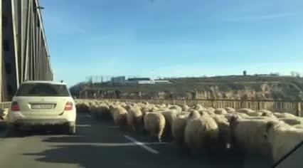 O turma de oi a intrat pe Autostrada Soarelui. Imaginile inregistrate miercuri cu sute de ovine pe podul de la Fetesti. VIDEO
