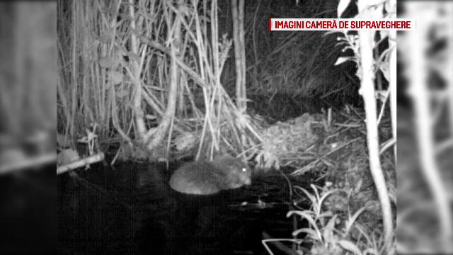 O colonie de castori incurca lucrarile la Aeroportul Brasov, iar ecologistii vor arie protejata. Oficial: Noi am fost primii