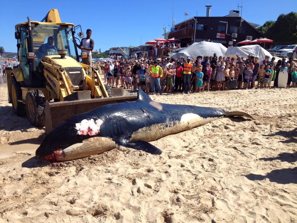 O balena ucigasa a esuat pe o plaja din Africa de Sud. Ce au descoperit in stomacul ei. FOTO