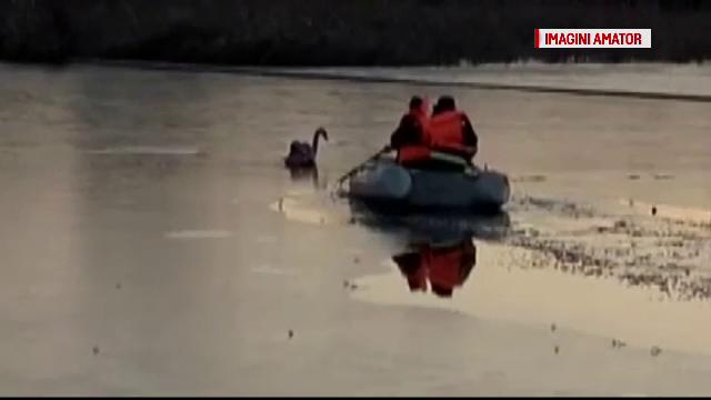 Lebada ranita salvata de pompieri dintr-un lac inghetat, la Caracal. Cum a decurs operatiunea