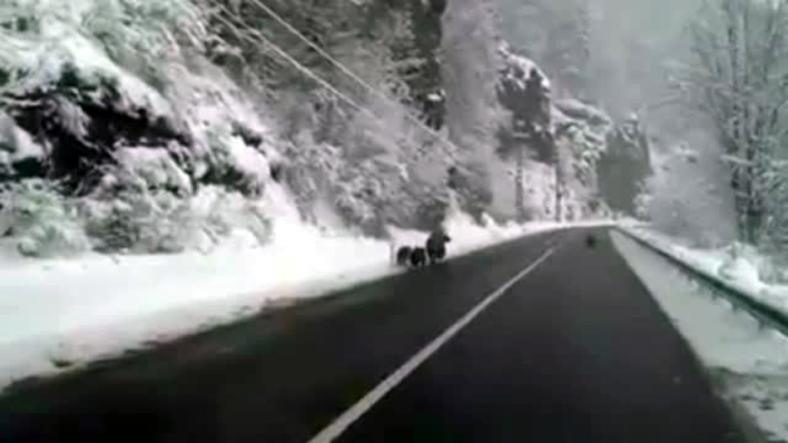 Familie de ursi filmata pe un drum national din Transilvania. De ce nu hibernau animalele, desi e decembrie