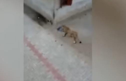 Un leu evadat dintr-o rezervatie a ingrozit locuitorii unui sat din India. Ce manca animalul de prada in fata lor. VIDEO