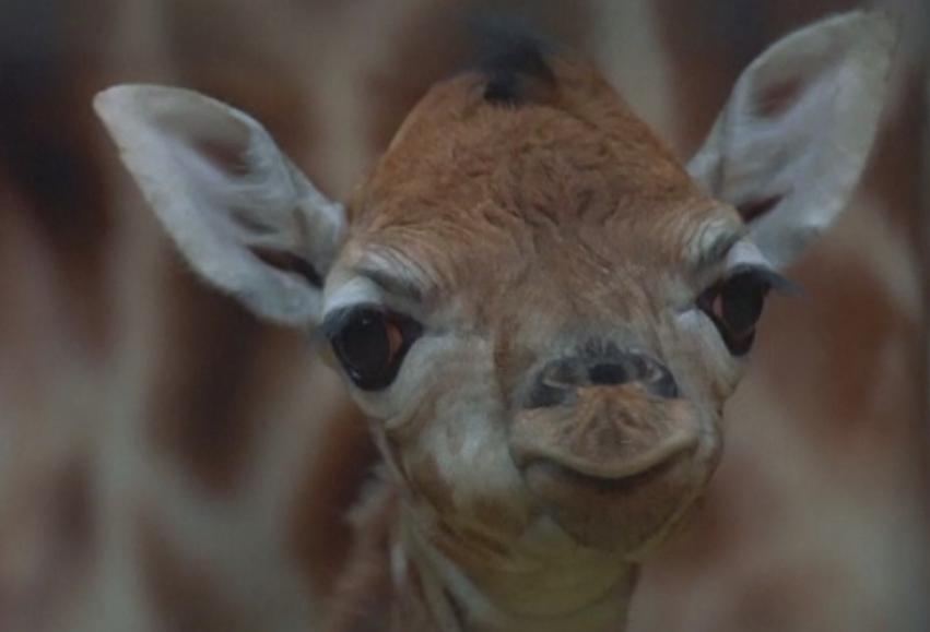 O girafa dintr-o specie rara a venit pe lume la Gradina Zoologica din Chester. Puiul masoara deja 2 metri inaltime