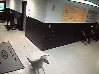 O căprioară a intrat într-o școală din Mississippi. Ce a urmat. VIDEO