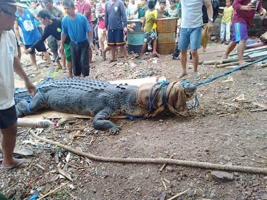 Crocodil gigantic, prins în Filipine după ce a mâncat un pescar. FOTO cu monstrul