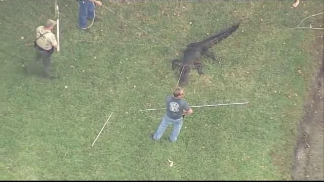 Aligator capturat după ce reptilă a atacat un bărbat. Ce s-a întâmplat cu victima