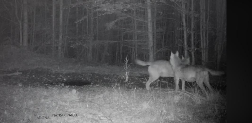 Imagini spectaculoase. Doi lupi, surprinși în timp ce urlă într-o pădure. VIDEO