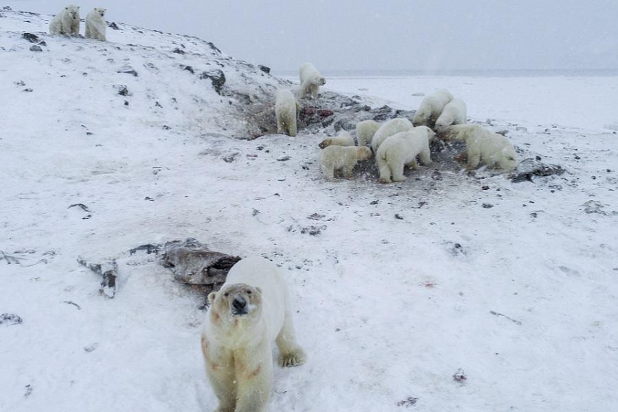 Invazie de urși polari într-o localitate din Rusia. Toate evenimentele au fost anulate