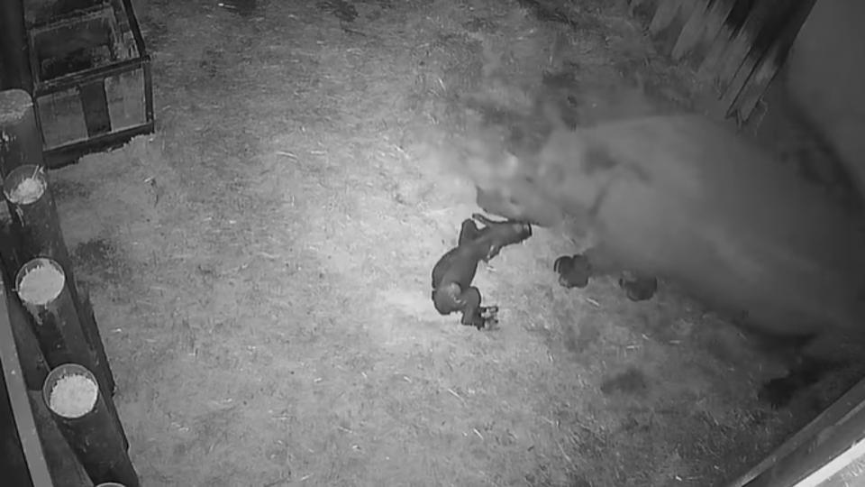 Momentul istoric în care se naște primul rinocer negru din Franța. VIDEO